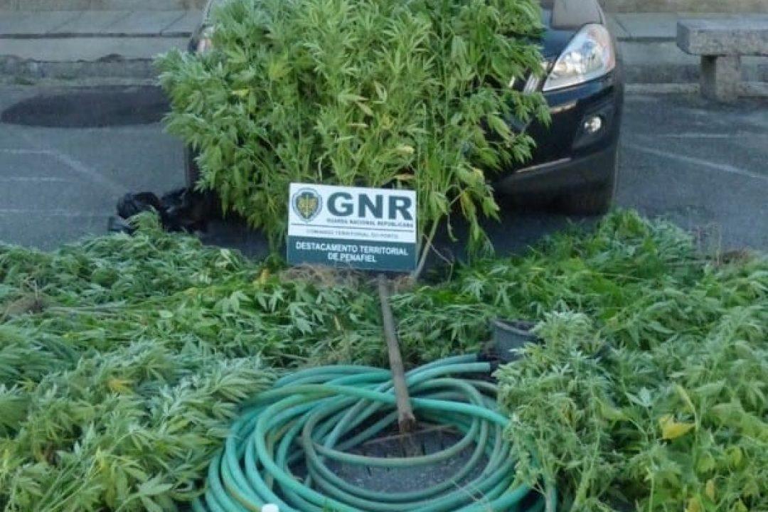 Penafiel – Detido por cultivo de plantas de cannabis